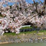 桜の動画#4  河岸の桜の風景
