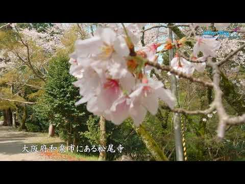 AUTEL EVO2 PRO ドローン空撮 和泉市松尾寺の桜【4K】