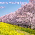埼玉県の桜名所 元荒川の桜並木・熊谷桜堤の風景 Beautful Cherry blossoms viewing spots in Saitama Japan