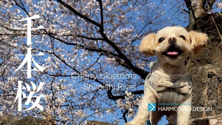 一目千本桜 ドローン 空撮 Cherry blossoms 白石川堤 宮城 花見 宮城観光 桜の名所 東北の桜 日本の桜 sakura full bloom Japan 2021