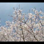 揺れる桜🌸 心和む風景3