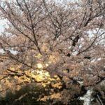 【オンライン花見】桜 2021【桜】17