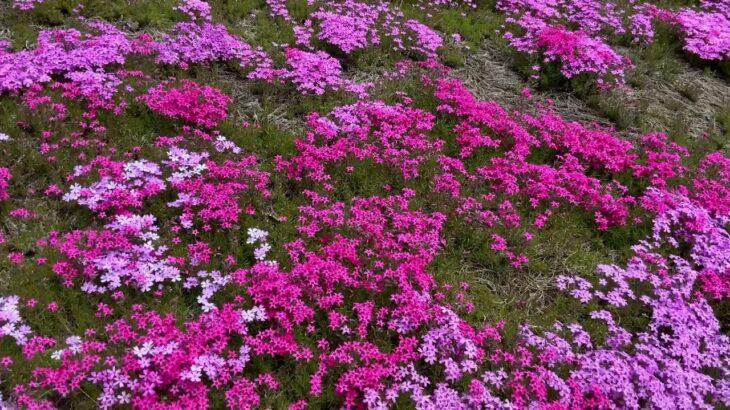 桜の動画#3 芝桜の風景