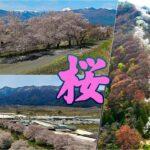 【安曇野 桜】満開の桜とアルプスの風景