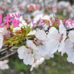 今後の作品のために今しか見れない花風景を見ておく!を言い訳に桜を見てきたよ ~いろいろな桜の色形~ 奈都のアトリエ風景 2021.05.07