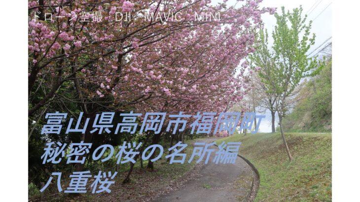 【ドローン空撮】富山県高岡市福岡町・秘密の桜の名所編 八重桜  @岸渡川の桜を守る会